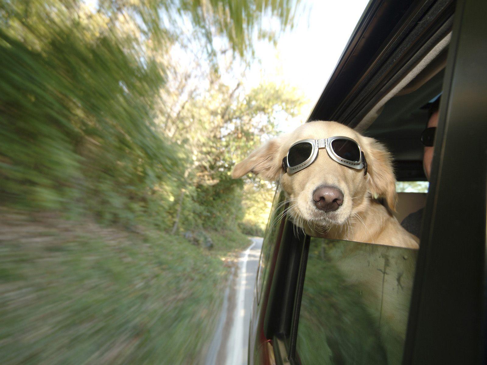 Conduzir com animais nos carros prejudica em muito a condução